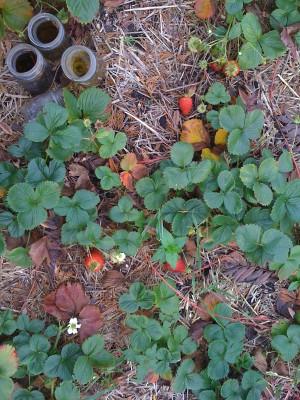 10-10-22 October strawberries